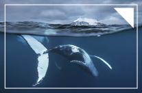 Hình ảnh tuyệt vời của cá voi nơi cực Bắc của thế giới